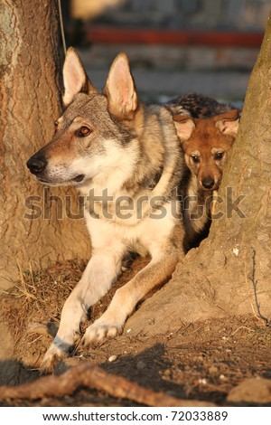 Czechoslovakian wolfdog mother with puppy