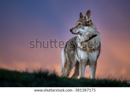 Czechoslovakian wolfdog standing in grass at sunset, colorful pink and violet sky in the background - stock photo
