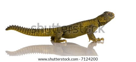 Dabb Lizard in front of a white background