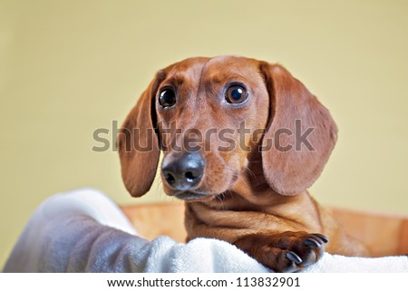 Dachshund - stock photo