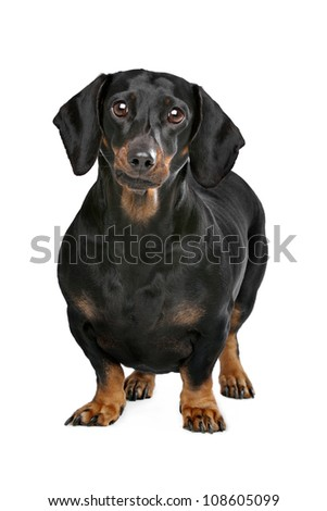 dachshund black and tan in front of white background - stock photo
