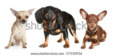 dachshund, chihuahua, toy terrier on a white background - stock photo