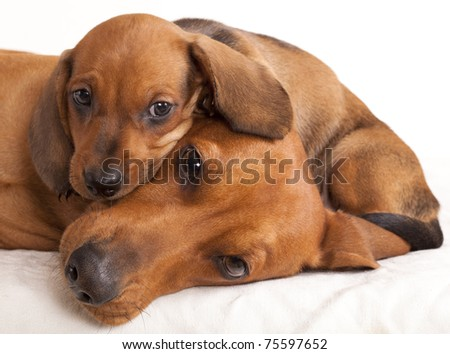 dachshund dog and puppy - stock photo