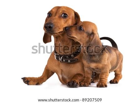 dachshund dog and puppy - stock photo