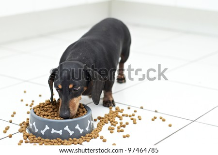 Dachshund dog breed eating food from dog bowl - stock photo