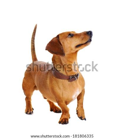 dachshund dog full length on white background