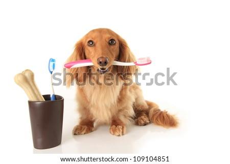 Dachshund dog holding a toothbrush. - stock photo