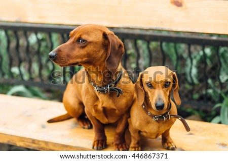 Dachshund dog  in outdoor. Beautiful Dachshund sitting in the  wooden bench. Standard smooth-haired dachshund in the nature. Dachshunds. Cute dachshund  on nature background