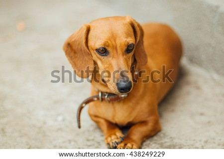 Dachshund dog  in outdoor. Standard smooth-haired dachshund in the nature. - stock photo