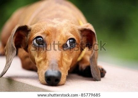dachshund dog in park - stock photo