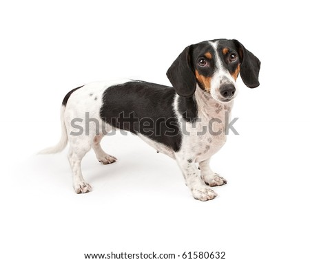 Dachshund dog looking forward and isolated on white