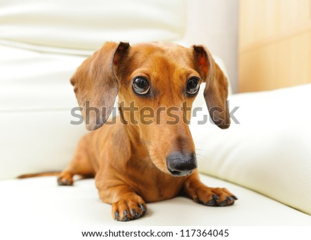 dachshund dog on sofa - stock photo