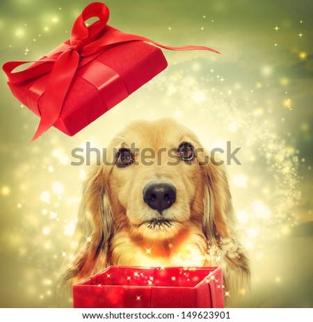 Dachshund dog opening a red magic box - stock photo