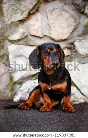 dachshund dog portrait in a fancy collar - stock photo