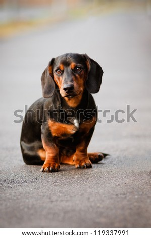 dachshund dog portrait in a fancy collar - stock photo