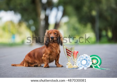 dachshund dog posing with throphies