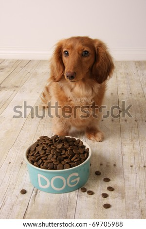 dachshund dog seating in front of her food dish. - stock photo