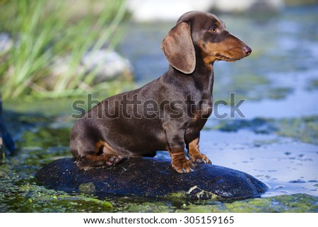 dachshund  dog sitting on a rock on the river, color brown - stock photo