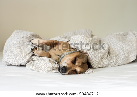 Dachshund dog sleeping on white soft comfortable bed.  Luxuriate in bed. Hiding from the cold.