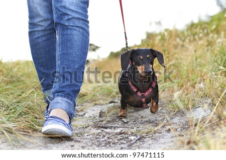 Dachshund dog walking beside owner - stock photo