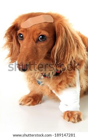 Dachshund dog wearing a bandage and band-aid. - stock photo