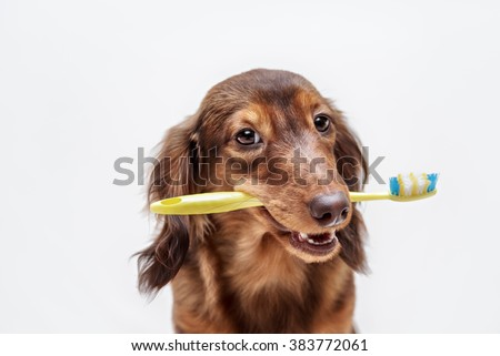 Dachshund dog with a toothbrush on a light background, not isolated - stock photo