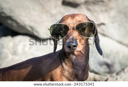 Dachshund dog with sunglasses at sea put in a bag - stock photo