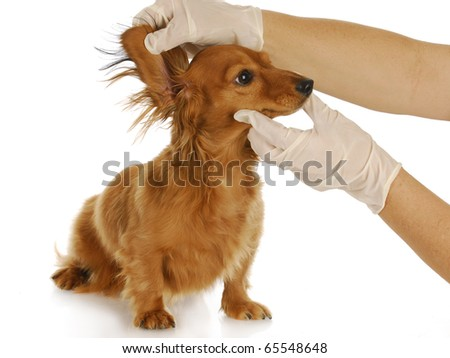 dachshund getting ears examined by a veterinarian with reflection on white background - stock photo
