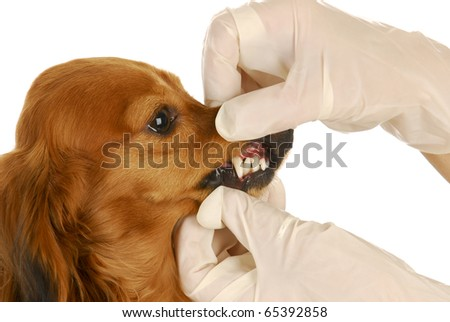 dachshund getting teeth examined by veterinarian on white background - stock photo