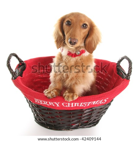 Dachshund in a Merry Christmas basket.
