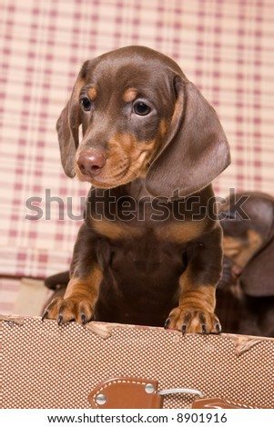 Dachshund in box