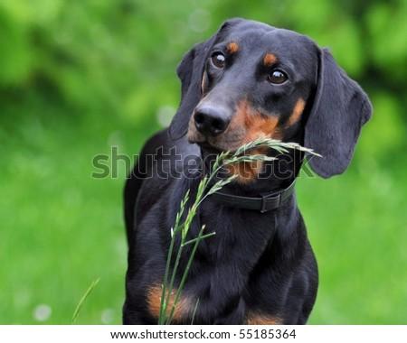dachshund in grass - stock photo