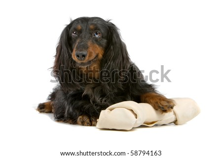 dachshund isolated on white with a huge white bone - stock photo