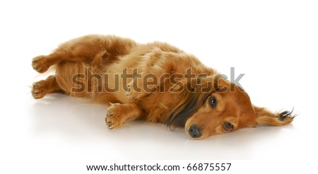 dachshund laying down on side looking at viewer with reflection on white background - stock photo