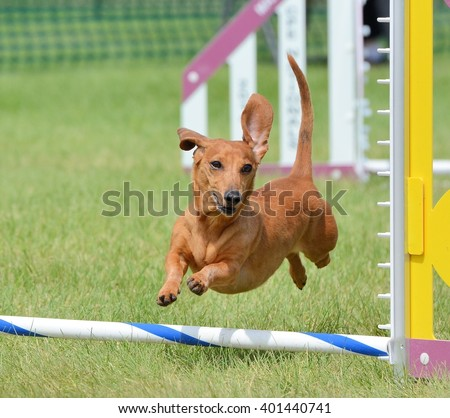 Dachshund Leaping Over a Jump at a Dog Agility Trial - stock photo