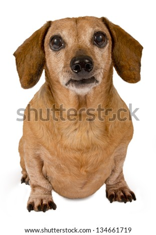 Dachshund Looking Forward/ Close Up/ Isolated On White - stock photo