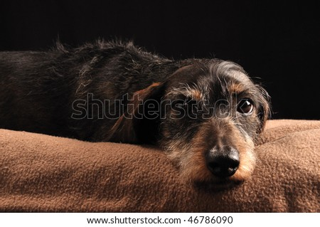 dachshund lying down on a blanket