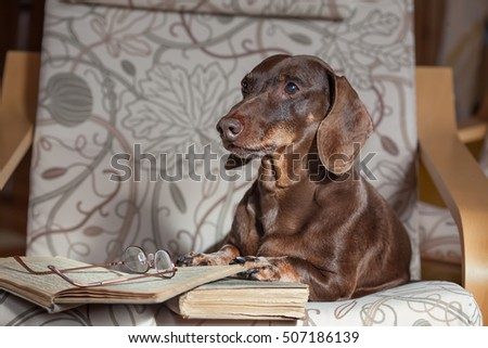 Dachshund lying in a chair with books.