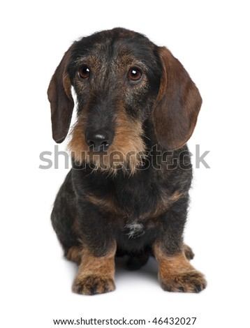 Dachshund, 9 months old, sitting in front of white background