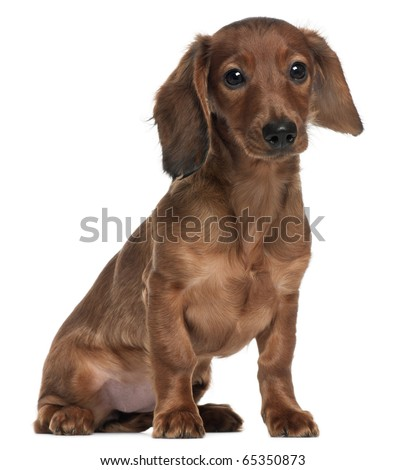 Dachshund, 5 months old, sitting in front of white background - stock photo
