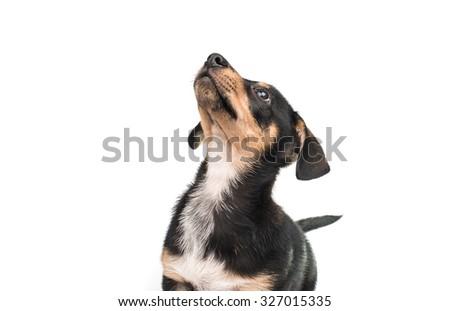 dachshund on a white background - stock photo