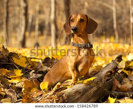 dachshund on autumn forest with leaves - stock photo