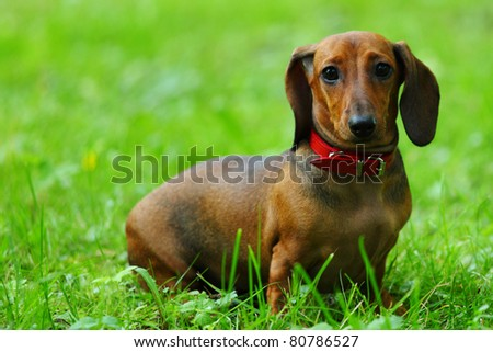 dachshund on grass - stock photo