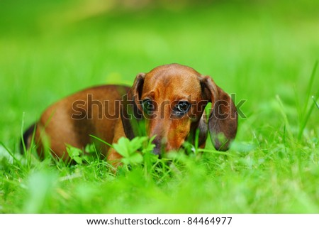dachshund on green grass - stock photo