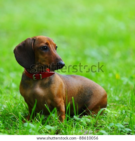 dachshund on green grass close up - stock photo