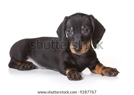 Dachshund on white background