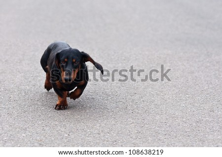 Dachshund? or Wiener dog, Close up portrait of a black and brown two years old dog dachshund running towards you - stock photo