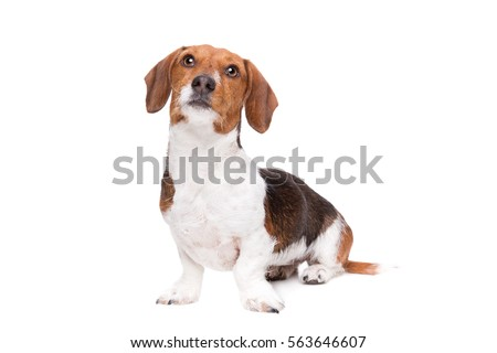 Dachshund piebald dog front white background 563646607 dachshund piebald dog in front of a white background voltagebd Gallery