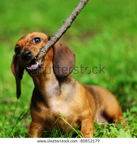 dachshund play on green grass - stock photo