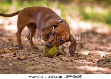 dachshund playing with ball - stock photo
